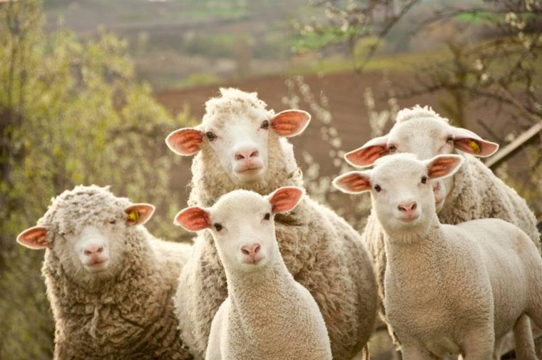 clueless sheep